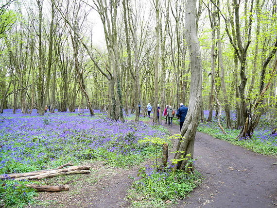 Ramblers walking on path beside bluebells in Heartwood Forest